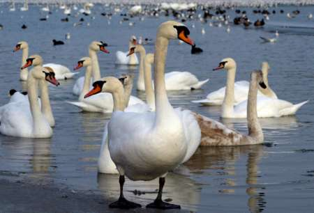 Mute Swans, Croatia [REUTERS 2005-10-21]; Image ONLY