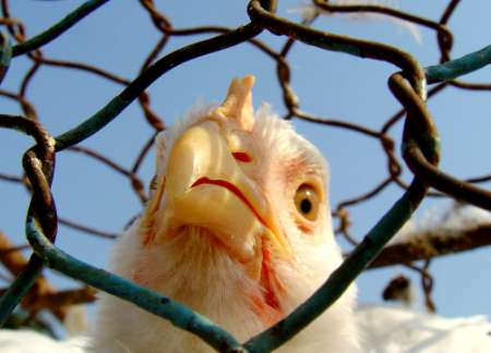 Chicken, China [REUTERS 2005-10-22]; Image ONLY