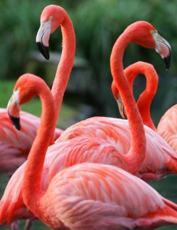 Flamingos, Belgium [REUTERS 2005-10-26]; Image ONLY
