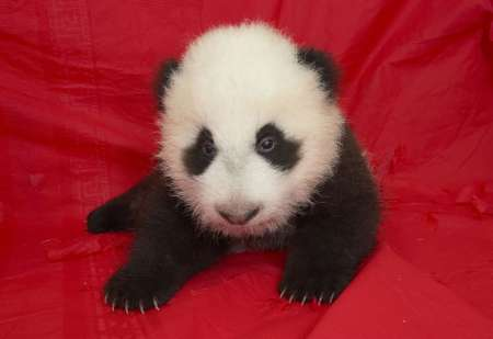 Baby Giant Panda, USA [REUTERS 2005-10-27]; Image ONLY