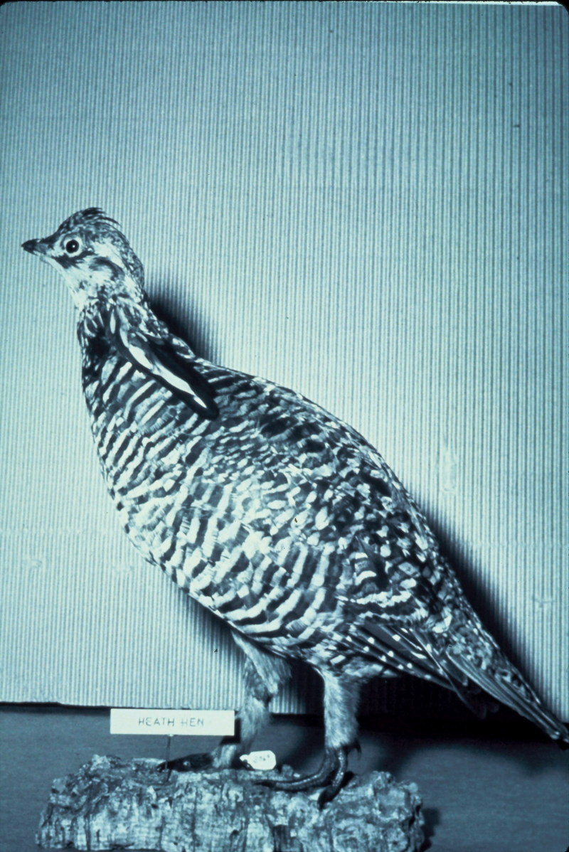 Heath Hen/Greater Prairie-Chicken (Tympanuchus cupido) <!--큰초원뇌조 암컷-->; DISPLAY FULL IMAGE.