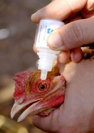 Chicken, Macedonia [REUTERS 2005-10-28]; Image ONLY