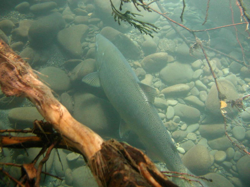 Chinook Salmon (Oncorhynchus tshawytscha) {!--왕연어-->; DISPLAY FULL IMAGE.