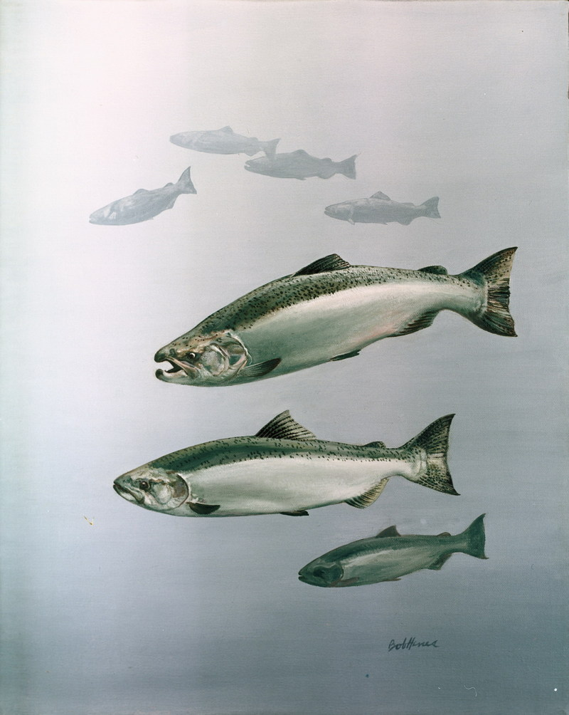 Chinook Salmon illustration (Oncorhynchus tshawytscha) <!--왕연어-->; DISPLAY FULL IMAGE.