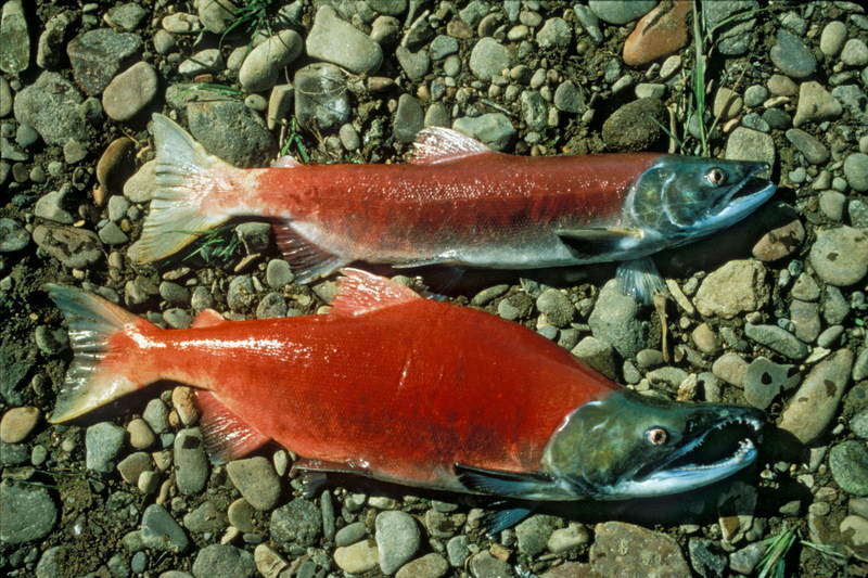 Sockeye Salmon (Oncorhynchus nerka) <!--홍연어-->; DISPLAY FULL IMAGE.