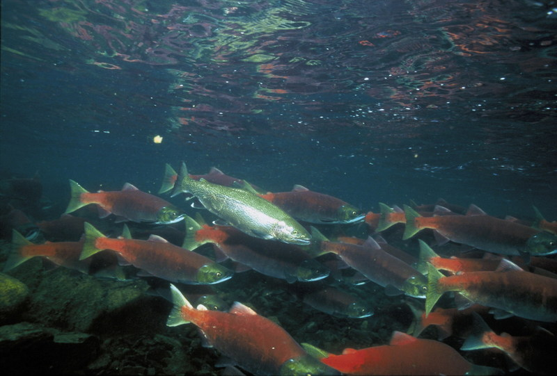 Sockeye Salmon (Oncorhynchus nerka) <!--홍연어--> / Rainbow Trout <!--무지개송어-->; DISPLAY FULL IMAGE.