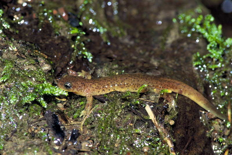 Olympic Torrent Salamander (Rhyacotriton olympicus) <!--올림픽도롱뇽(북미)-->; DISPLAY FULL IMAGE.