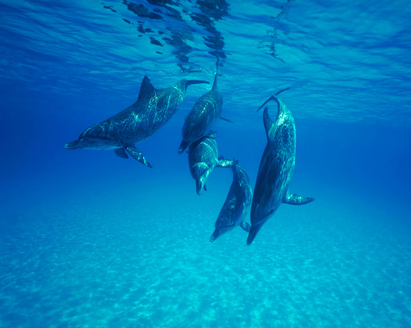 [NG] Nature - Atlantic Spotted Dolphins; DISPLAY FULL IMAGE.