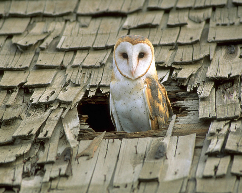 [NG] Nature - Barn Owl in Roof Hole; DISPLAY FULL IMAGE.
