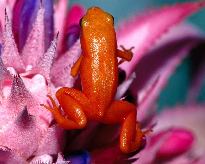 [NG] Nature - Golden Mantella Frog; DISPLAY FULL IMAGE.