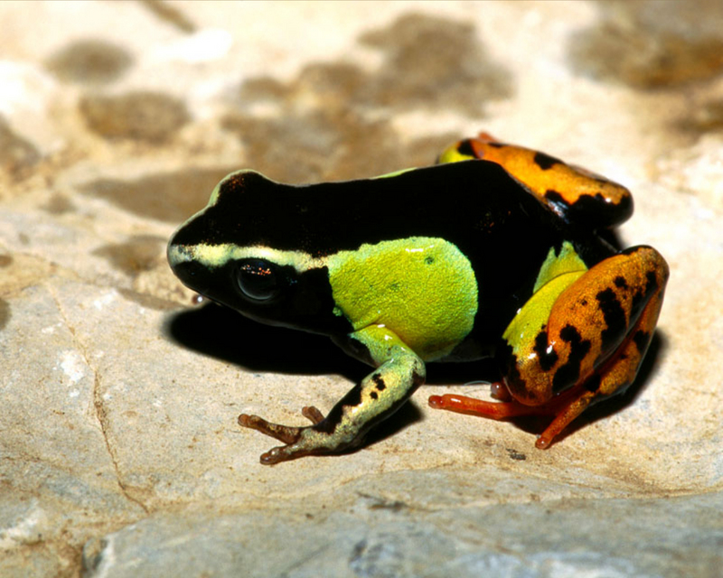 [NG] Nature - Painted Mantella Frog; DISPLAY FULL IMAGE.
