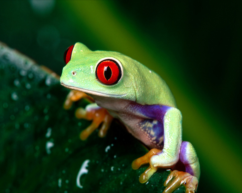 [NG] Nature - Red-Eyed Tree Frog; DISPLAY FULL IMAGE.