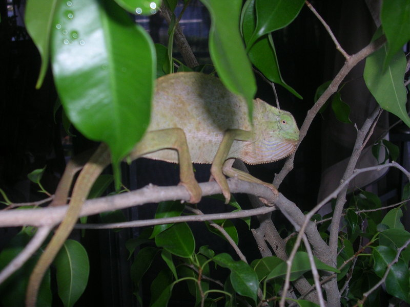 senegal chameleon; DISPLAY FULL IMAGE.