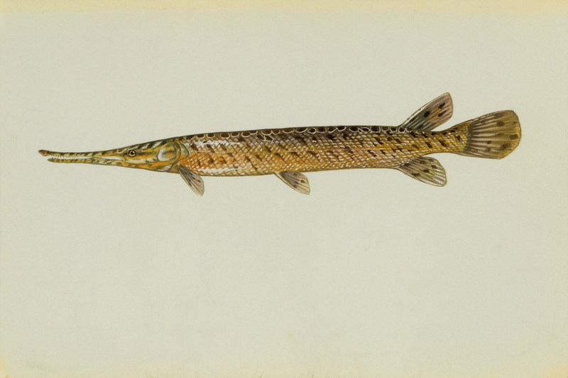 Spotted Gar (Lepisosteus oculatus) <!--줄점꼬치고기(민물꼬치고기과)-->; DISPLAY FULL IMAGE.