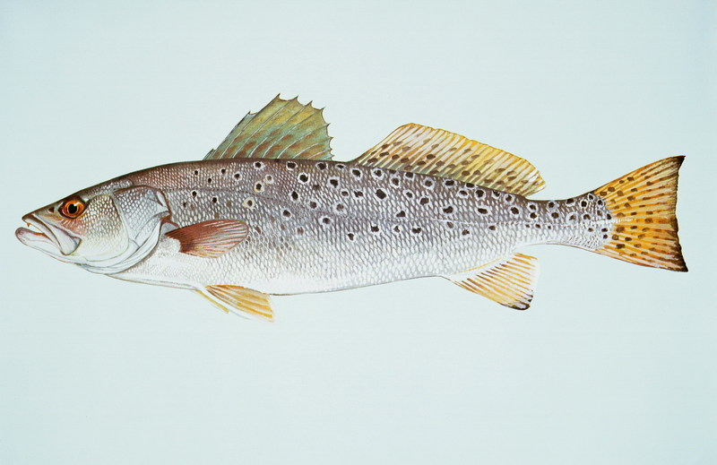 Spotted Seatrout (Cynoscion nebulosus) <!--점박이바다송어-->; DISPLAY FULL IMAGE.