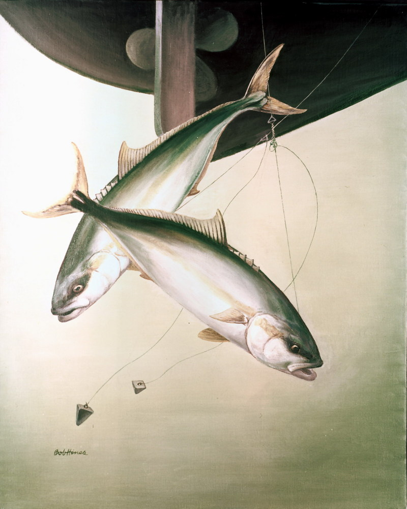 Yellowtail Amberjack (Seriola lalandi) <!--부시리-->; DISPLAY FULL IMAGE.