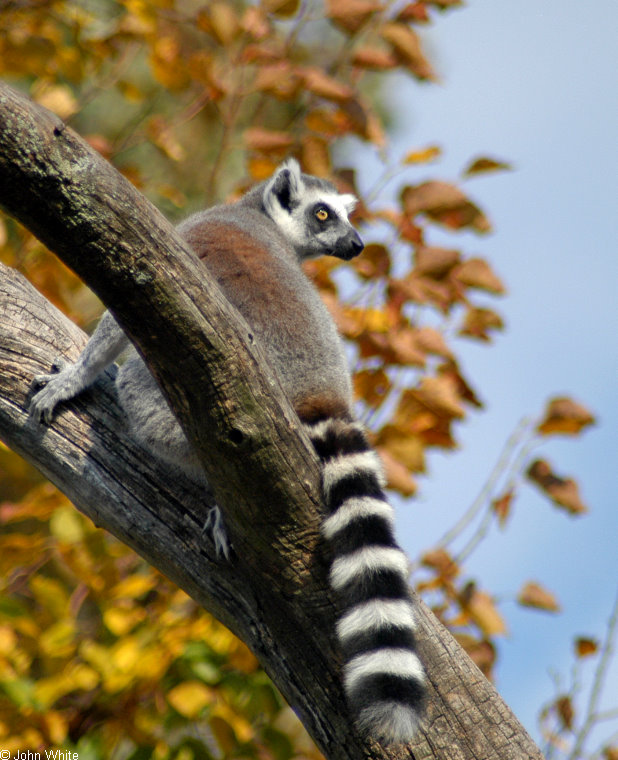 Ring-tailed Lemur (Lemur catta) 3; Image ONLY