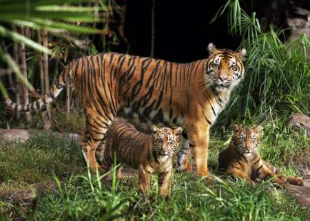 Sumatran Tigers, USA [REUTERS 2005-11-11]; Image ONLY