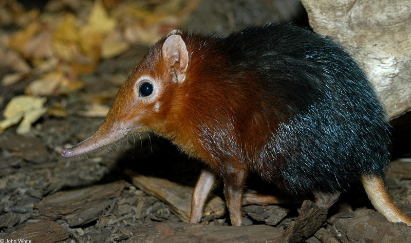Giant Elephant Shrew (Rhynchocyon petersi)1530; DISPLAY FULL IMAGE.