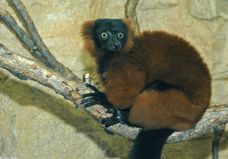 Red Ruffed Lemur (Varecia variegata rubra); DISPLAY FULL IMAGE.