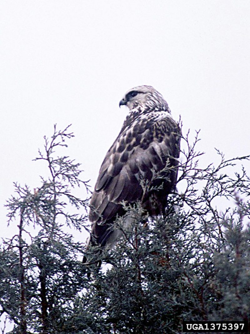 Rough-legged Hawk (Buteo lagopus) <!--털발말똥가리-->; DISPLAY FULL IMAGE.