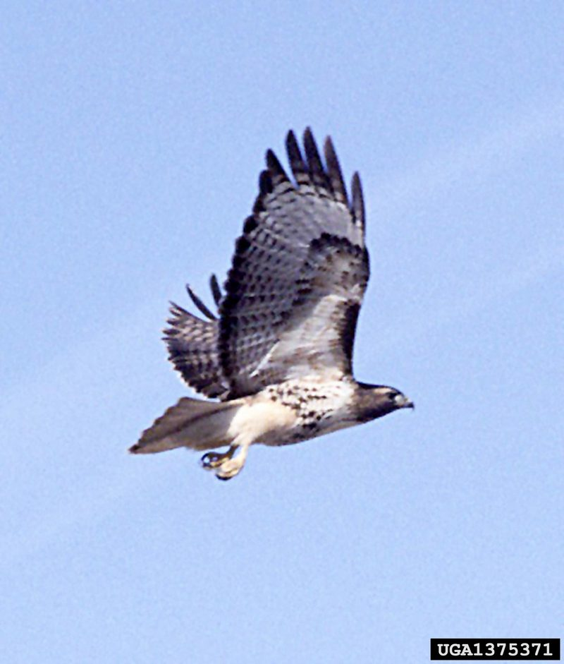 Red-tailed Hawk (Buteo jamaicensis) <!--붉은꼬리매-->; DISPLAY FULL IMAGE.