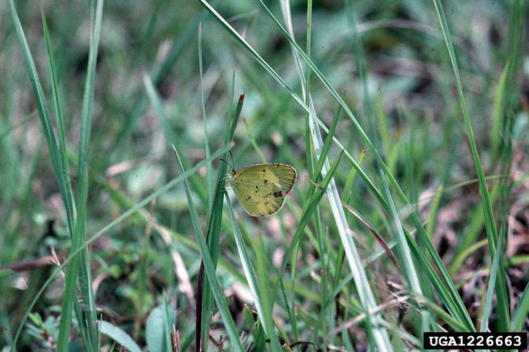 Little Yellow (Eurema lisa) <!--미국노랑나비-->; Image ONLY