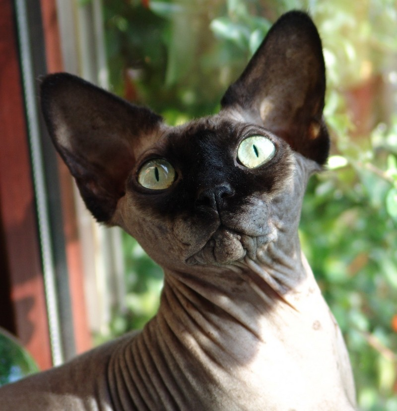 Sphinx or Hairless Cat; DISPLAY FULL IMAGE.