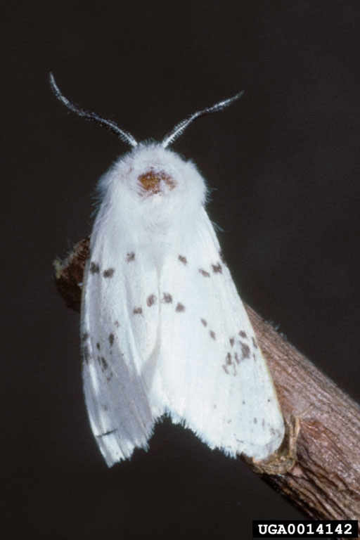 Fall Webworm Moth (Hyphantria cunea) {!--미국흰불나방/흰불나방-->; Image ONLY