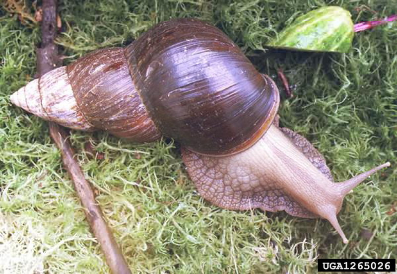 Giant East African Snail (Achatina fulica) <!--아프리카왕달팽이-->; DISPLAY FULL IMAGE.