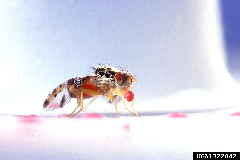 Mediterranean Fruit Fly (Ceratitis capitata) {!--지중해광대파리/지중해과실파리-->; Image ONLY