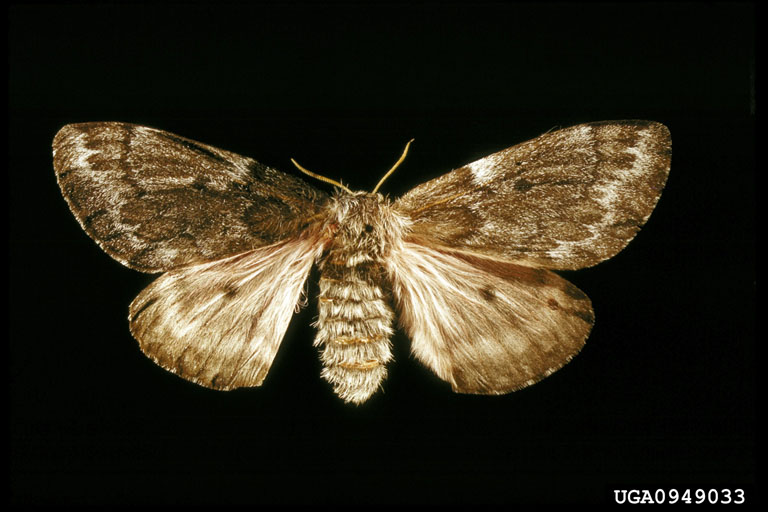 Pandora Moth (Coloradia pandora) <!--판도라솔나방-->; Image ONLY