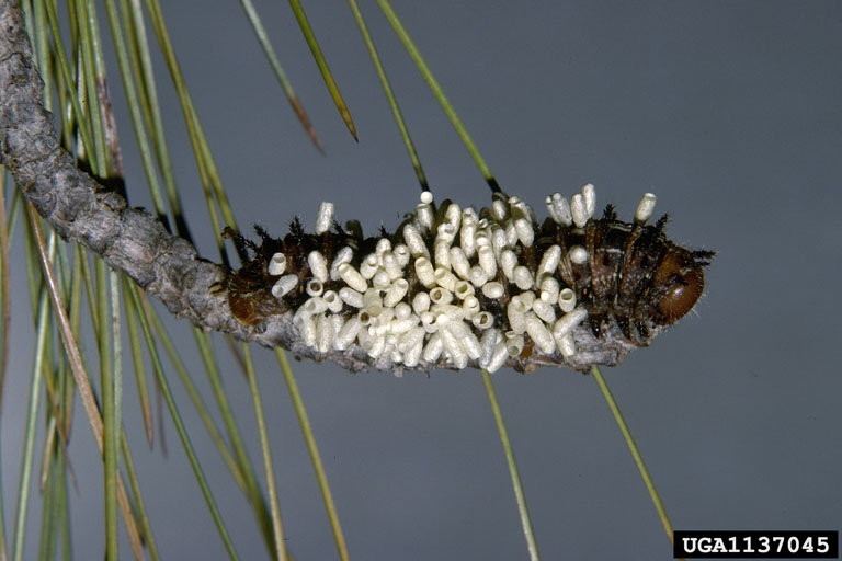 Pandora Moth caterpillar (Coloradia pandora) <!--판도라솔나방 애벌레-->; Image ONLY