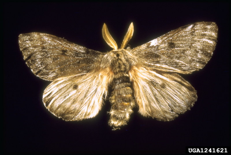 Pandora Moth (Coloradia pandora) <!--판도라솔나방-->; DISPLAY FULL IMAGE.