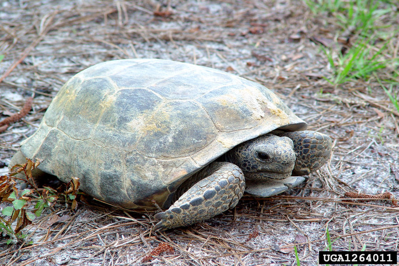 Gopher Tortoise (Gopherus polyphemus) <!--뒤쥐거북-->; DISPLAY FULL IMAGE.