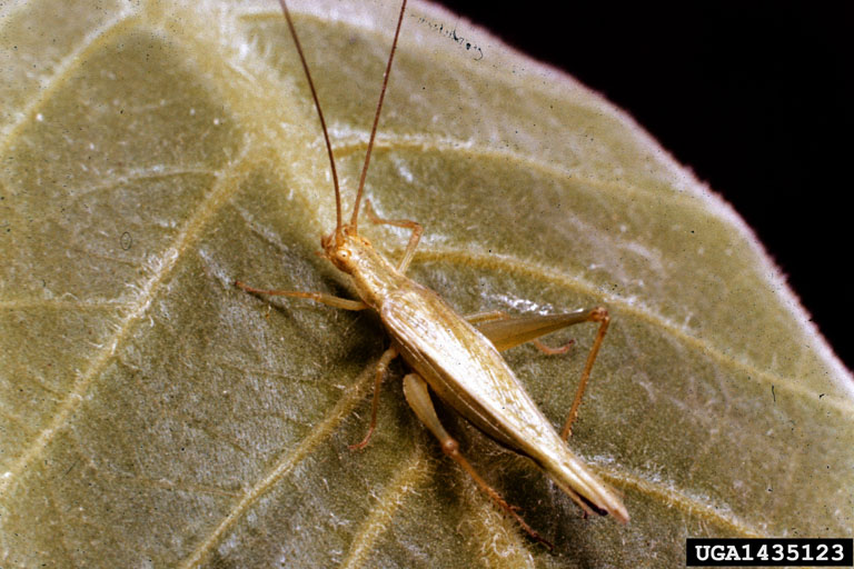 Snowy Tree Cricket (Oecanthus fultoni) {!--풀톤귀뚜라미-->; Image ONLY
