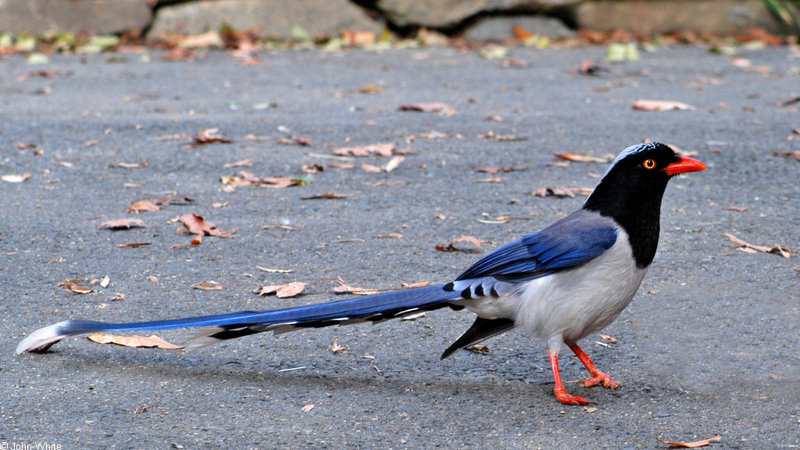 Red-billed Blue Magpie (Urocissa erythrorhyncha)1567; DISPLAY FULL IMAGE.
