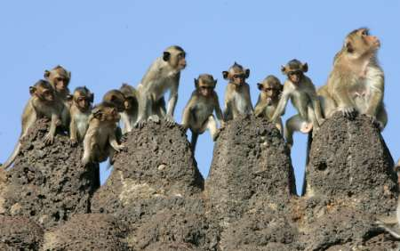 Rhesus Monkeys, Thailand [REUTERS 2005-11-27]; Image ONLY
