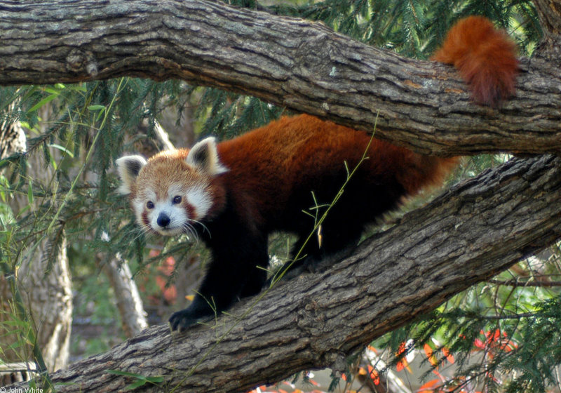 Red Panda (Ailurus fulgens); DISPLAY FULL IMAGE.