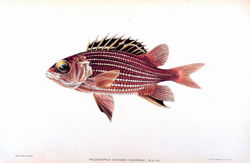 Crown Squirrelfish (Sargocentron diadema) <!--볏얼게돔-->; DISPLAY FULL IMAGE.