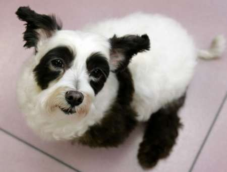 Panda Dog, Japan [REUTERS 2005-11-30]; Image ONLY