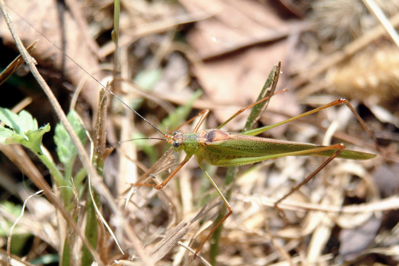 Phaneroptera falcata (Sickle-bearing bush-cricket) <!--실베짱이-->; DISPLAY FULL IMAGE.