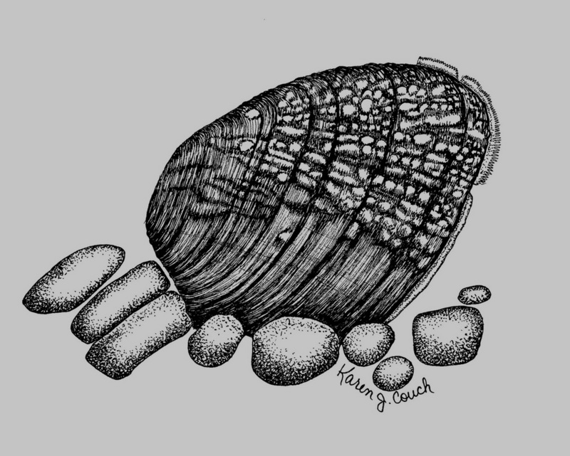 Birdwing Pearly Mussel (Lemiox rimosus) <!--캐라타조개/미국-->; DISPLAY FULL IMAGE.