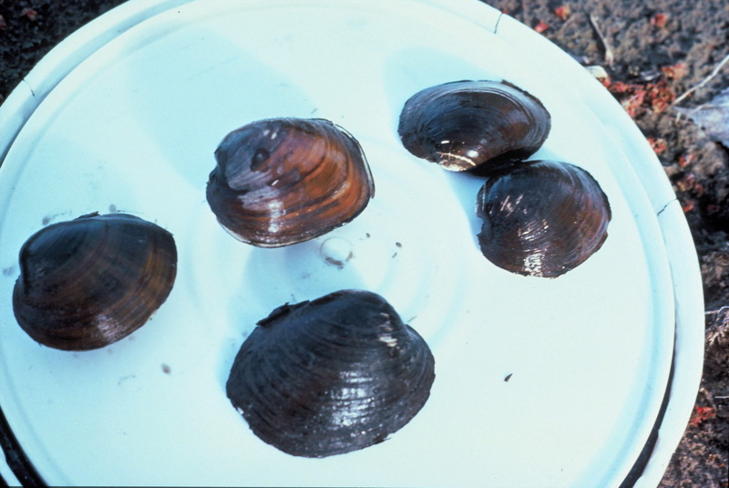 Higgins Eye Pearlymussel (Lampsilis higginsii) <!--히긴스조개/미국-->; DISPLAY FULL IMAGE.