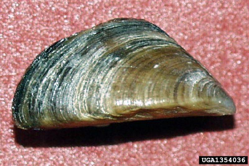 Zebra Mussel (Dreissena polymorpha) {!--말조개-->; DISPLAY FULL ...
