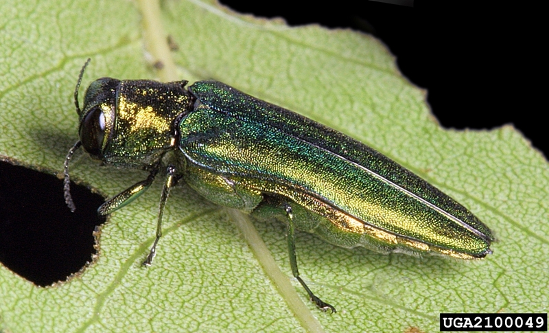 Emerald Ash Borer (Agrilus planipennis) <!--물푸레나무호리비단벌레-->; DISPLAY FULL IMAGE.
