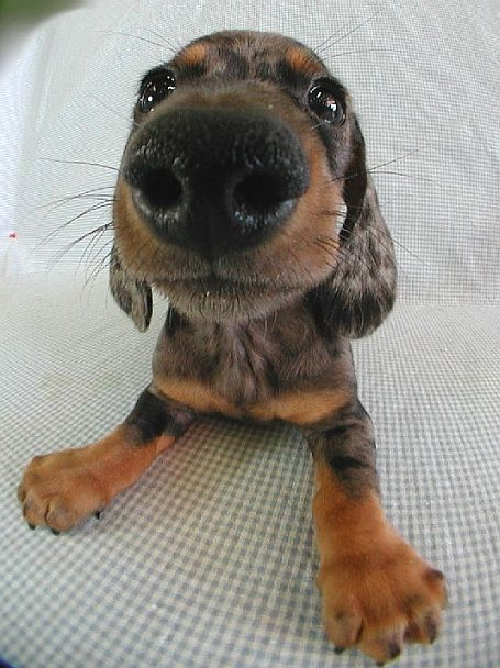smooth.dachshund-1.jpg