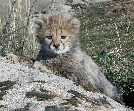 Cheetah7.jpg