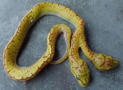 2hd-python.jpg