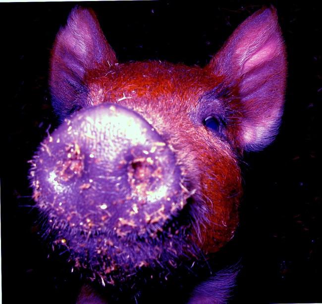Pig-vi.jpg